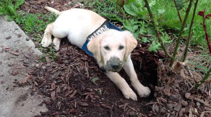 La Caracal există un câine polițist care, în loc să prindă infractori, îngroapă probele!